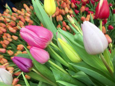 オランダの国花(国の花)